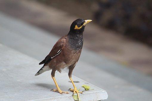 Acridotheres Tristis, Common Myna, Myna, Bird, Aves