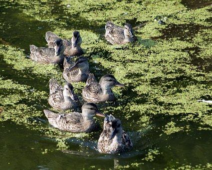 Ducks, Duck Family, Nature