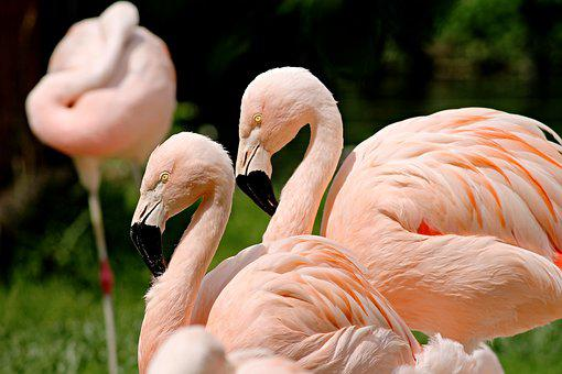 Flamingos, Birds, Pink, Water Bird, Animals, Nature