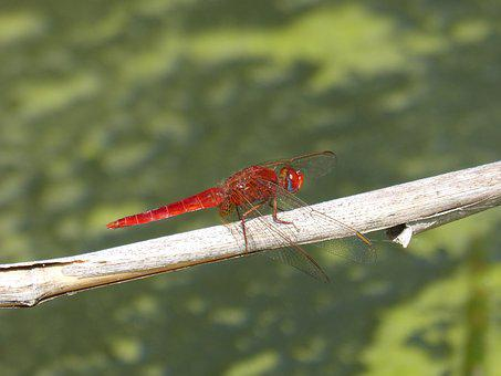 Dragonfly, Red Dragonfly, American Cane, Pond, Algae