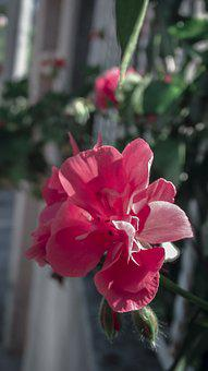 Red, Flowers, Pink Flower, Nature, Roses, Pink Flowers