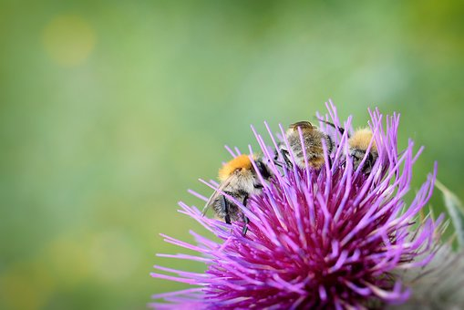 Bumble-bee, Insect, Summer, Thistle, Wallpaper