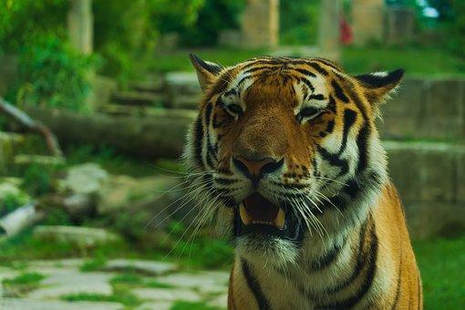 Tiger, Zoo, Animal, Wildlife, Wild, Head, Danger