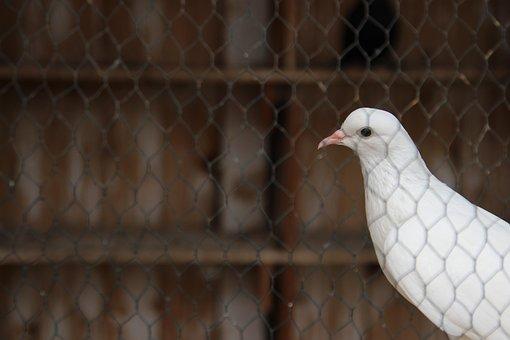 Pigeon, Behind, Bars, White, Animal, Bird, Nature, Dove