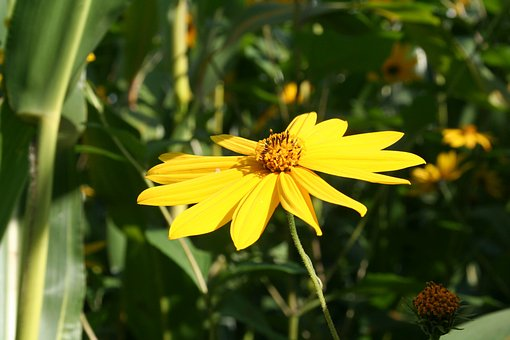 Marguerite, Field Flower, Yellow, Pointed Flower, Bloom