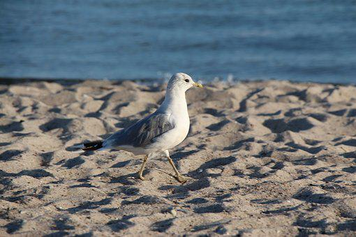 Seagull, Beach, Ocean, Bird, North Sea, Baltic Sea