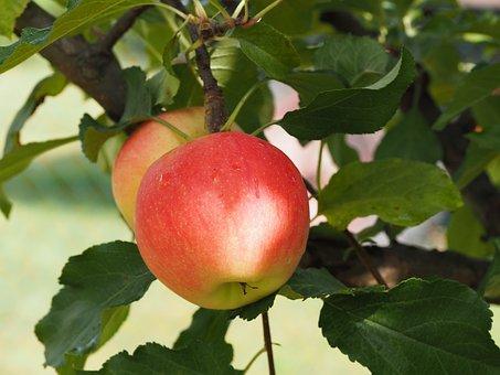 Apple, Bio, Harvest, Vegetables, Fruits, Agriculture