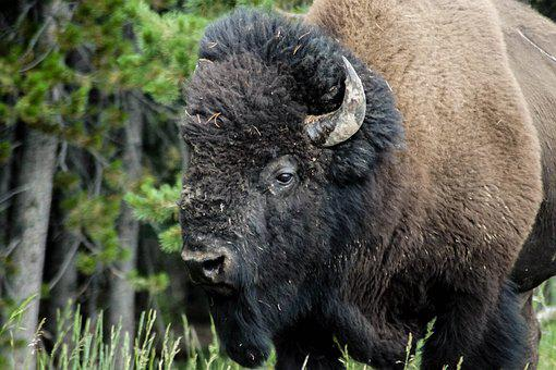 Bison, Animal, Buffalo, Nature, Wild Animal