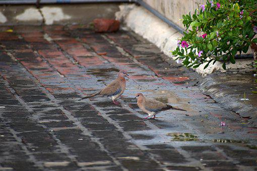Duos Doves, Indian Dove, Ring-necked Dove, Birds