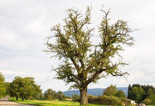 Pear, Tree, Old Tree, Fruit