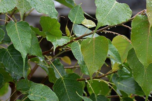 Pipal Leaves, Raining, Rain Drops, Bodhi Leaves, Green