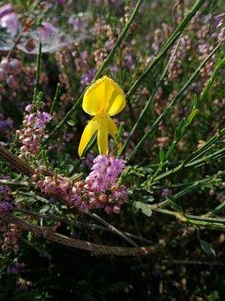 Broom, Blossom, Bloom, Heide, Erika, Heather, Bloom