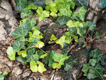 Ivy, Green, Climber, Leaves, Nature, Entwine, Plant