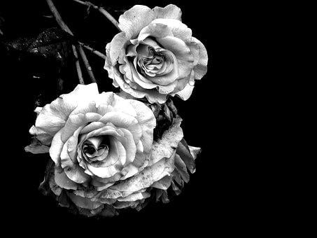 Rose, Mourning, Cemetery, Nature, Farewell, Rose Bloom