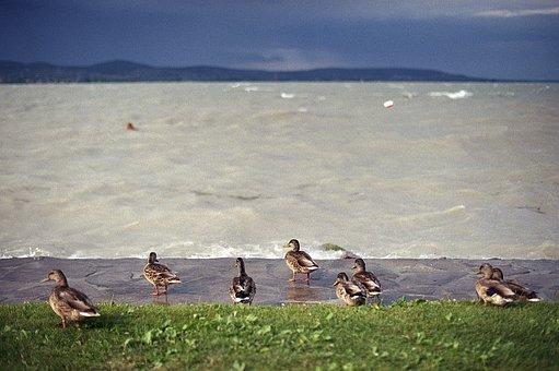 Ducks, Lake, Storm, Balaton, Hills, Grass, Nature