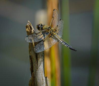 Dragonfly, Odonata, Fauna, Insect, Wildlife