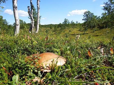 Forest, Field, Tundra, Mushroom, Orange-cap Boletus