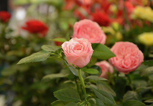 Flowers, Roses, Color Pink, Nature, Petals, Pale Pink