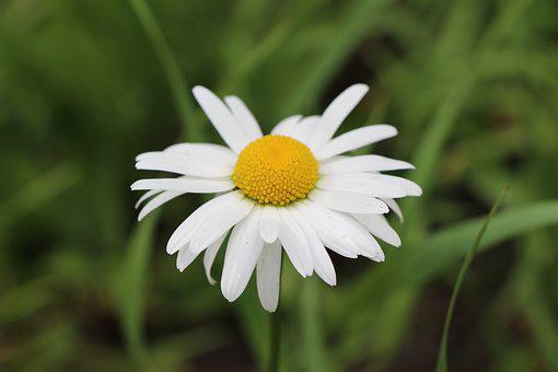Chamomile, Plant, Edible, Nature, Flower, Blossom