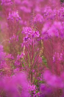 Heather, Plant, Flower, Bloom, Flora, Purple, Erica