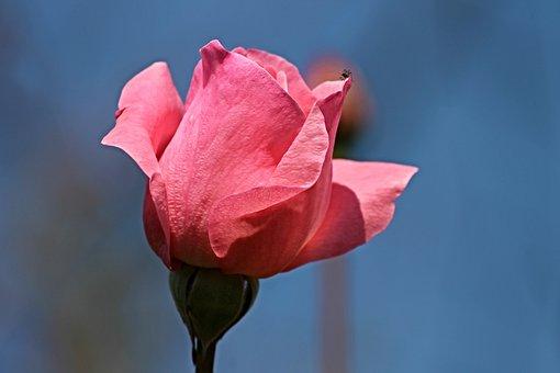 Rose, Rose Bloom, Pink Rose, Pink, Romantic, Beautiful