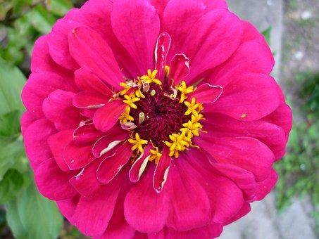 Zinie, Red, Flower, Garden Plant, Composites, Summer