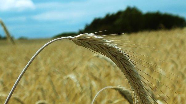 Wheat, Cornfield, Wheat Spike, Cereals, Wheat Field