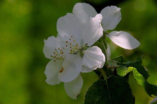 Apple Trees, Apple Flower, Apple, Spring, Tree, Flowers