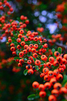 Plant, Autumn, Nature, Autumn Colors, Berry, Orange