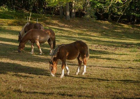 Lozère, Horses, Herd, Blond Mane, Feed