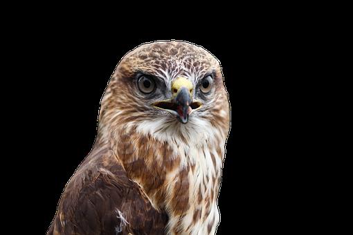 Buzzard, Bird, Raptor, Bird Of Prey, Common Buzzard