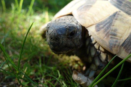 Turtle, Grass, Garden, Portrait, Meadow, Panzer