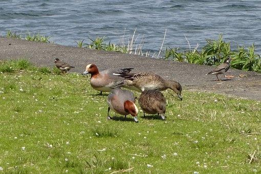 Bird, Waterfowl, Duck, Cute, Lake, Lake Biwa