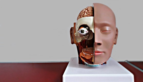 Face, Medical, Model, Profile, Mannequin