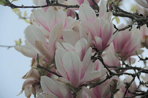 Magnolia, Flower, Magnolias, Spring, Nature