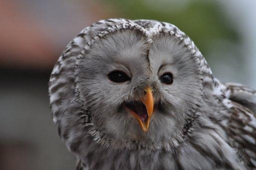 Raptor, Owl, Animal, Falconry, Nature, Animal World
