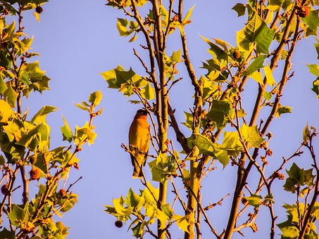Cedar Wax Wing, Sycamore Tree, Bird, Nature