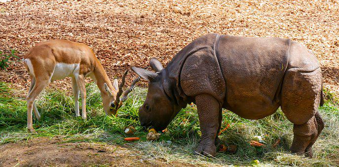 Nature, Animals, Rhino, Young Rhino, Antelope, Food
