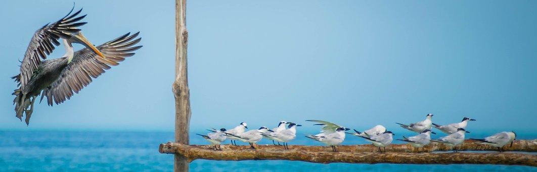 Holbox, Pelican, Bird