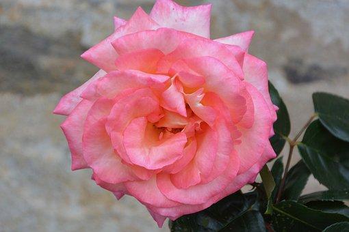 Flower, Pink, Rosebush, Garden, Pale Pink, Nature