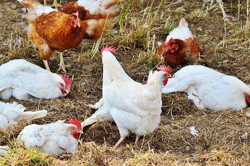 Chicken, Hen, Poultry, Pinnate, Free Range, Farm, Egg