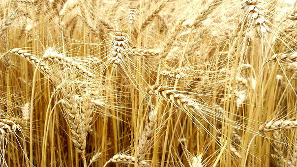 Cereals, Full Value, Wheat, Field, Plant, Grain, Ear