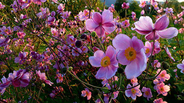 Fall Anemone, Blossom, Bloom, Pink, Ranunculaceae