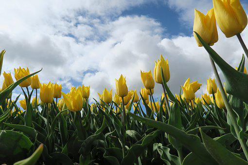 Tulips, Yellow, Nature, Spring, Netherlands, Flower