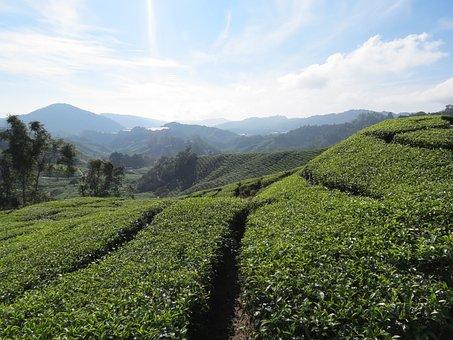 Tea Plantation, Malaysia, Cameron Highlands, Tea