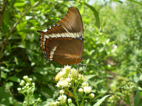 Butterfly, Large, Wings, Brown