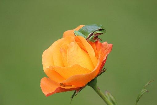 Tree Frog, Rose, Rarely, Yellow Rose, Rose Residents