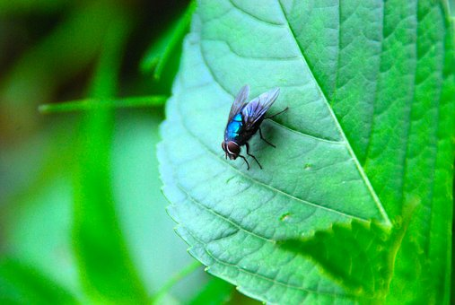 Fly, Insect, Bug, Nature, Animal, Wing, Blue, Green