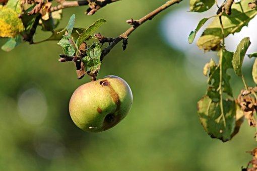 Apple, Nature, Worm Hole, Fruit, Vitamins, Frisch