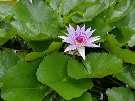 Water Lily, Pond, Blossom, Bloom, Aquatic Plant, Nature